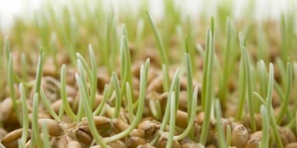 Проращивать пшеницу очень просто и это не требует особых усилий и затрат